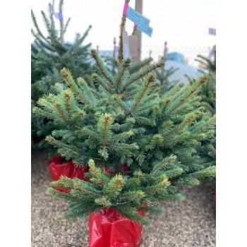 Blue Spruce Christmas Tree (80-100cm)